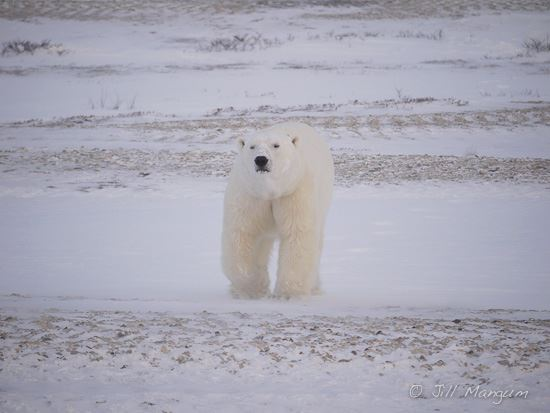 Polar Bear at Cape Churchill.