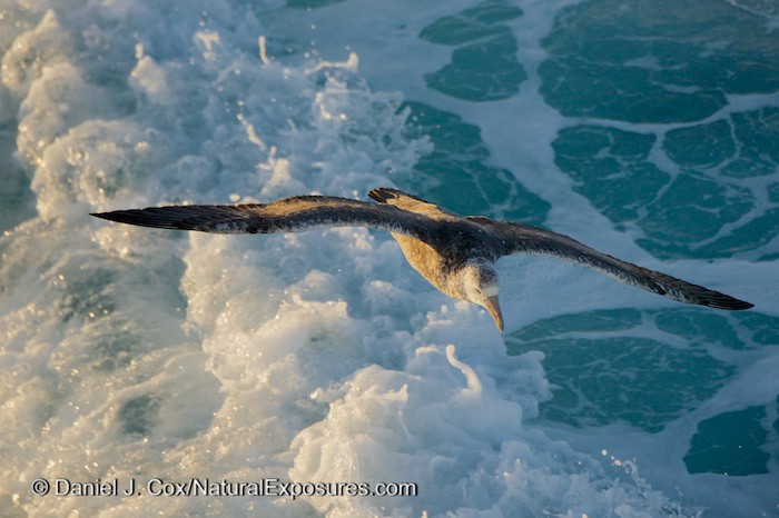 A Giant Petrel follows the Seabourn Quest on searching for anything kicked up by the large ship propellers.