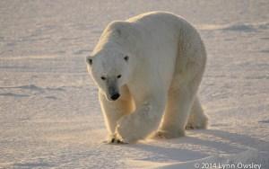 Polar bear in Manitoba, Canada.
