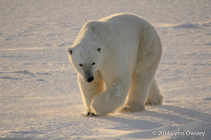 Polar bear in Manitoba, Canada.