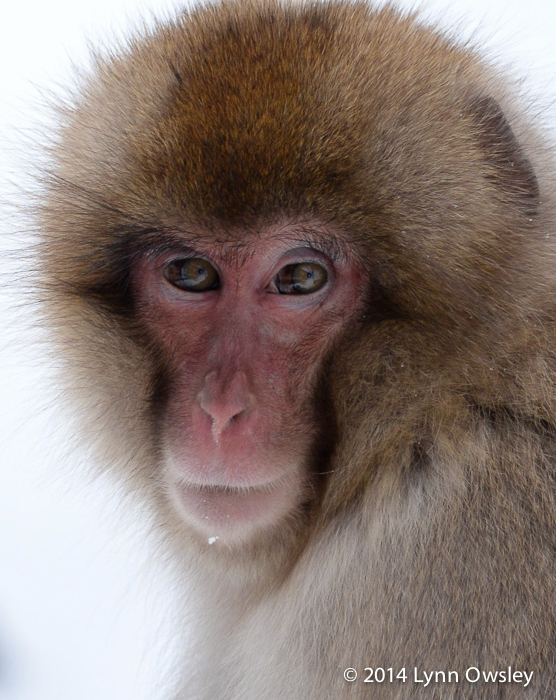 A beautiful portray of a Japanese Macaque AKA Snow Monkey on the island of Hokiado, Japan