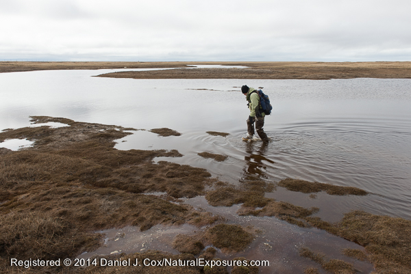 Denver Holt crossing a river on the tundra during snowy owl research. Alaska