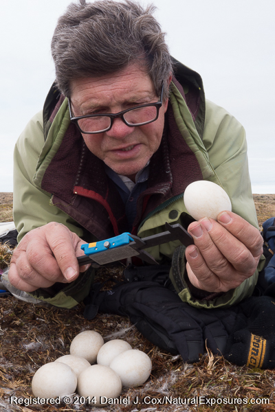 Denver Holt taking measurements of a snowy owl egg. Alaska. .