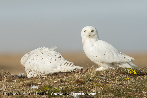 Snowy owl, male and female at nest site. Alaska.