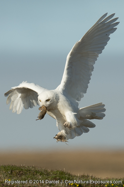 Snowy owl, male brings brown lemming in to nest site. Alaska.