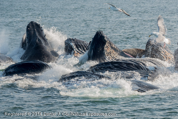 A pod of Humpback Whales  rise above the water after bubble net feeding. SE Alaska. Lumix GH4 with 100-300mm lens.