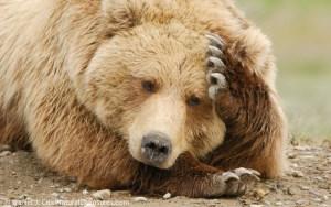 Alaskan Brown Bear (Ursus middendorffi) resting. Katmai National Park, Alaska.