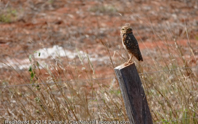 A burrowing owl sits on q fence post near it's new in the ground. Lumix ZF1000