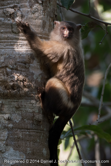 A beautiful Black-tailed Marmoset makes it's way down a tree in to position for a good photo. Lumix FZ1000