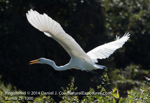 Great Egret takes flight in the Pantanal, Brazil