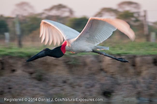 Jabaru stork in flight, Pantanal, Brazil. Lumix FZ1000