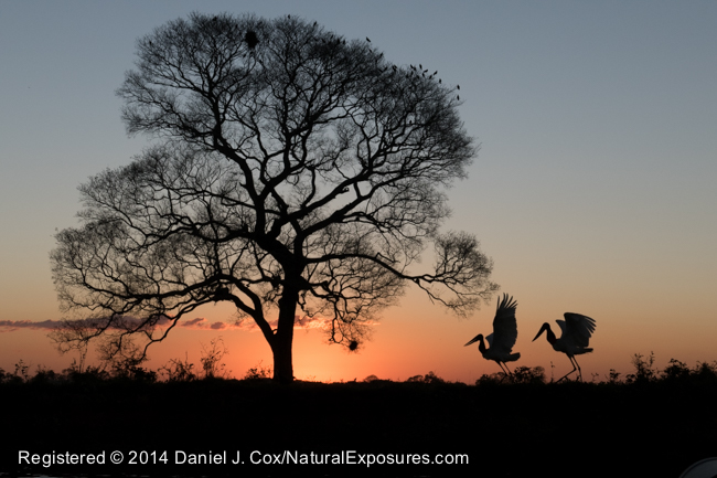 A pair of Jabiru storks at sunset, Pantanal, Brazil