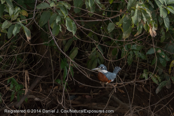 A Kinfisher sitting on a branch overhanging the  Pixaima River. Lumix FZ1000 shot at 2000 ISO