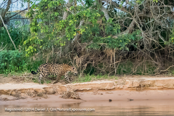 A jaguar walks the sand bars of the Cuiaba River after the sun had set and in near dark conditions. This image was shot with the Lumix FZ1000 at ISO 3200. Click on the image to see a larger, full size sample.