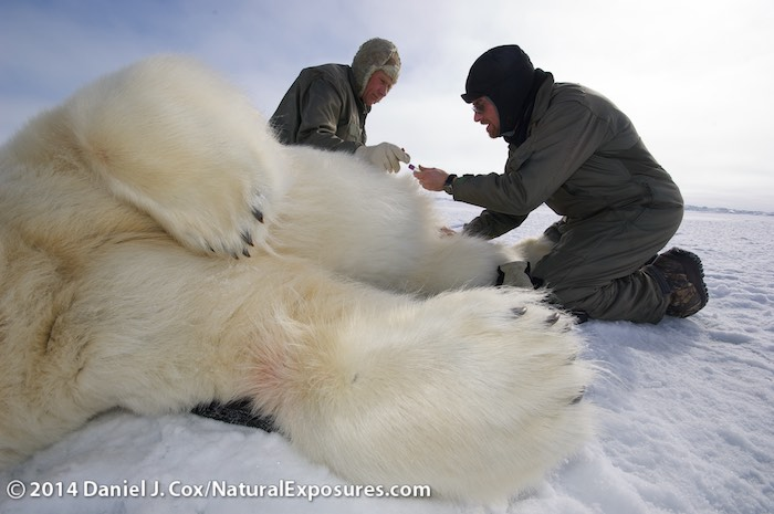 Steve Amstrup and Geoff York, Polar Bears International biologists, taking field data from an immobilized large male polar bear on the Beaufort Sea.