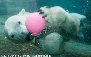 One of the tests subjects takes time off from work to play with a ball at the San Diego Zoo polar bear exhibit.