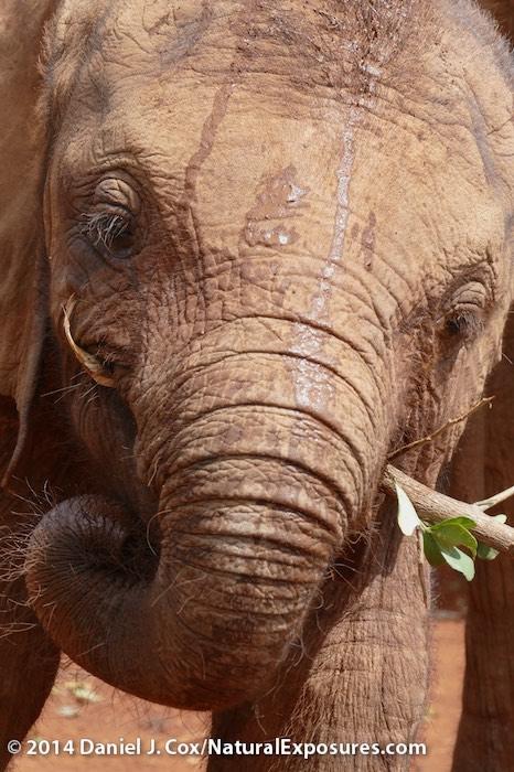 Orphaned baby elephants  at the The David Sheldrick Wildlife Trust elephant Orphaned near Nairobi, Kenya