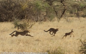 Cheetah family, mother with two older cubs chasing a baby grants gazelle in Samburu National Reserve, Kenya