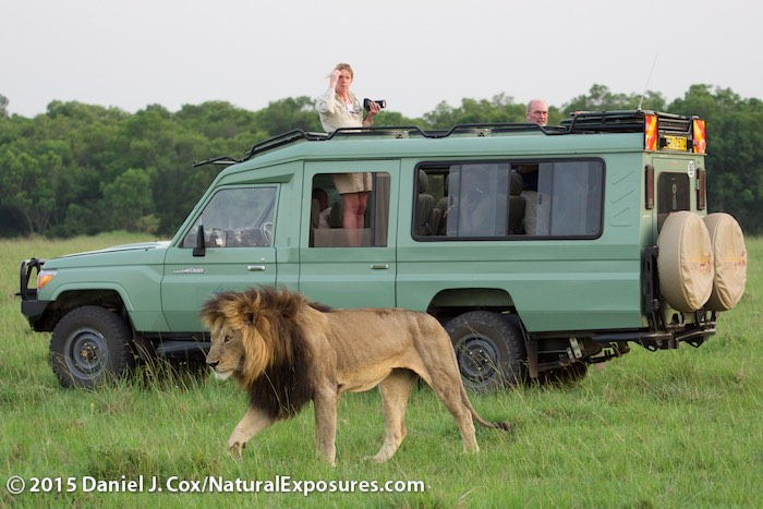 Lions like this beautiful male that walked by one of our Land Cruisers are being killed by poison. Lumix GH4, Olympus 40-150mm F/2.8, ISO 1000