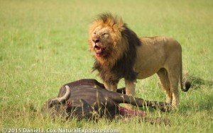 A solitary large male lion comes from out of nowhere to take the carcass over.  Masai Mara Game Reserve, Kenya. Lumix GH4 with Olympus 40-150mm F/2.8. ISO 320