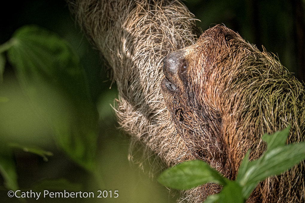 Sloth in a tree.