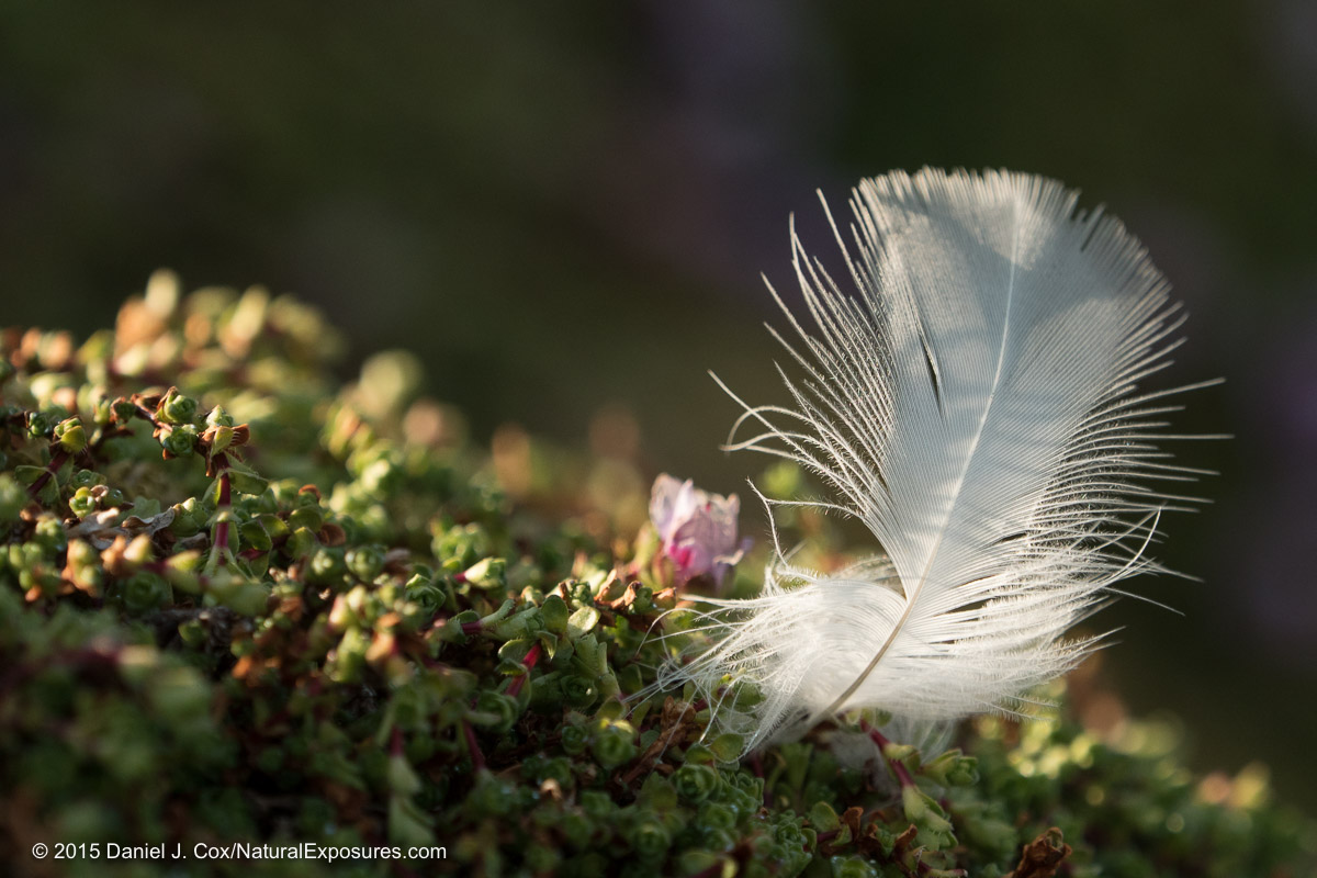 A Kittiwake feather illuminated from the side by the evening arctic light. Lumix GH4 with 45mm F/2.8