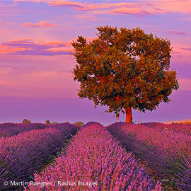 600-05524617 © Martin Ruegner Model Release: No Property Release: No English Lavender Field with Tree, Valensole, Valensole Plateau, Alpes-de-Haute-Provence, Provence-Alpes-Cote d�Azur, Provence, France