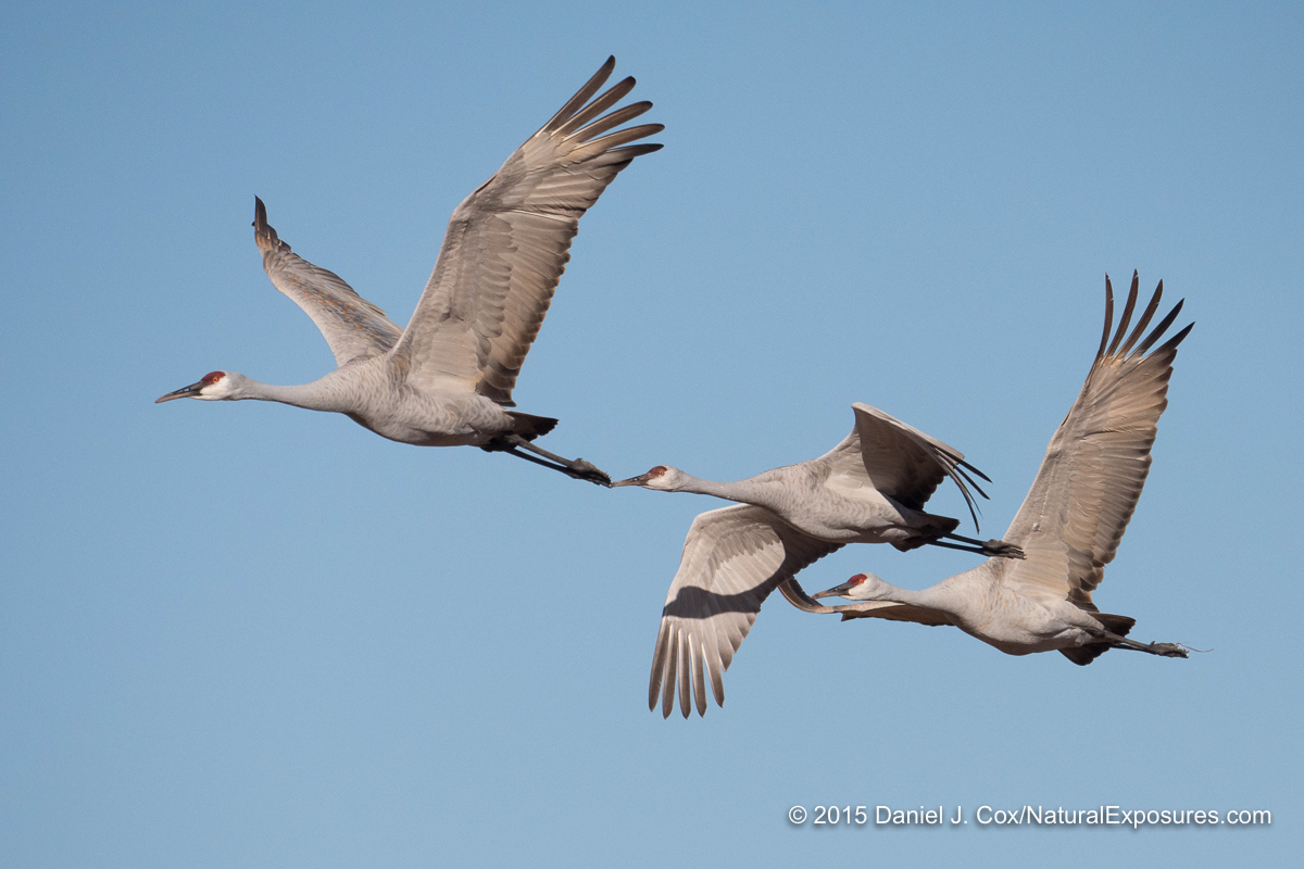 Sandhill cranes on flight over Bosque del Apache NWR. Lumix GX8 with Leica Vario-Elmar 100-400mm lens. ISO 320