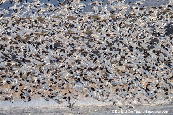 Snow geese lift off from a small pond at Bosque del Apache NWR. New Mexico. Lumix GX8 with 100-400mm zoom. ISO 320