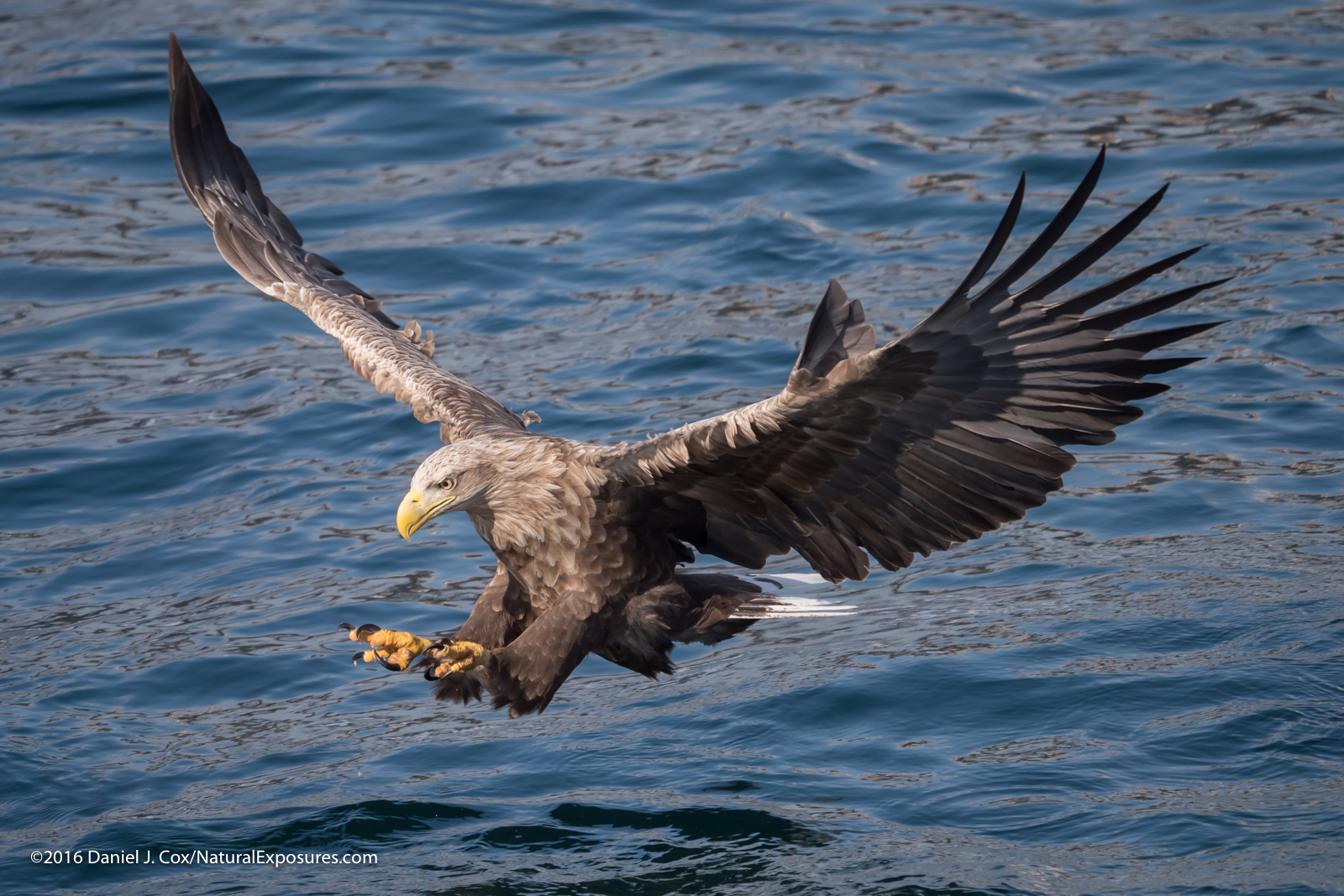 White-tailed eagle in flight, Hokkaido, Japan. Lumix GX8 with Leica 100-400mm zoom ISO 640