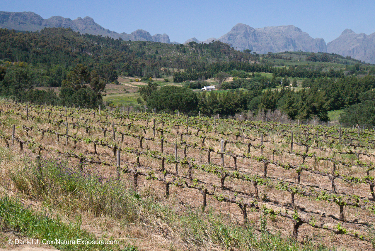D595567, vineyard, wine, south africa,