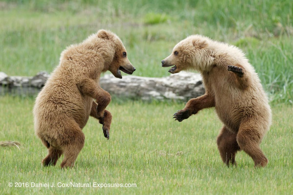 Brown bear, cubs playing, Katmai National Park, Alaska.