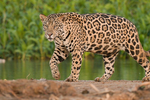 Photo for 2020 Brazil Pantanal Jaguar Wildlife Photo Expedition