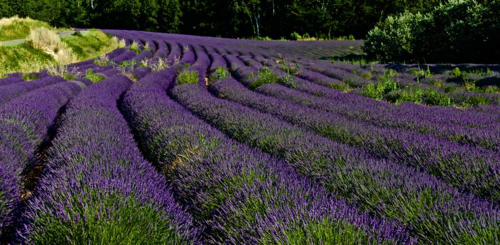 Lavender Field 1.jpg