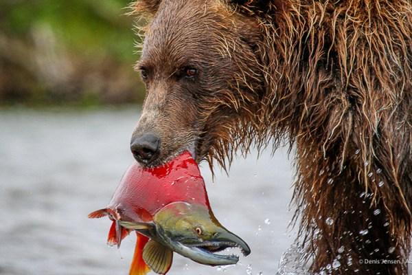 Photo for 2020 Alaska Bears by Air Photography Tour I