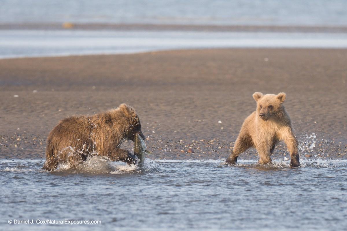 action, brown bear cubs