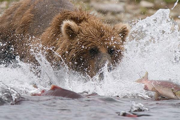 Photo for 2021 Alaska Bears by Air Photography Tour