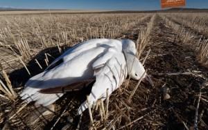 Death of a single snow goose
