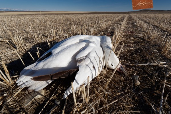 Death of a single snow goose