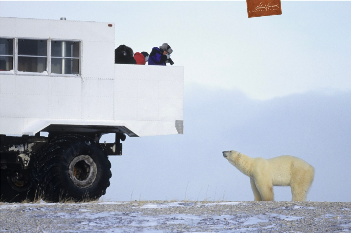 How to photograph polar bears from a thunder buggy, white furry animals