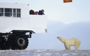 This is an image of a person on a thunder buggy looking down on a polar bear and taking its picture