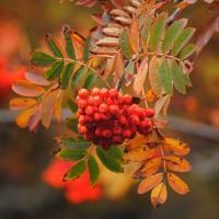 Colores de otoño. El serbal de los cazadores