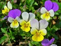 Pansy for eczema