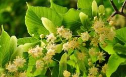 linden flower benefits