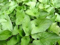 Good King Henry or allgood plant leaves