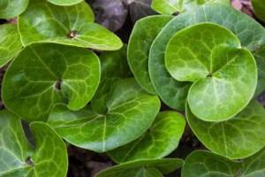 Asarum Plant Health Benefits 8