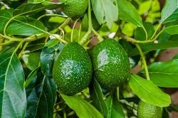 the avocado tree possesses many health benefits