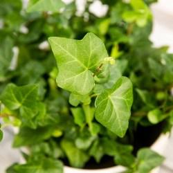 Ivy Plant Health Benefits 1