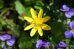 celandine plant for sale