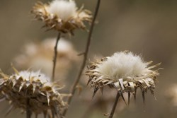 cotton plant for optimal health